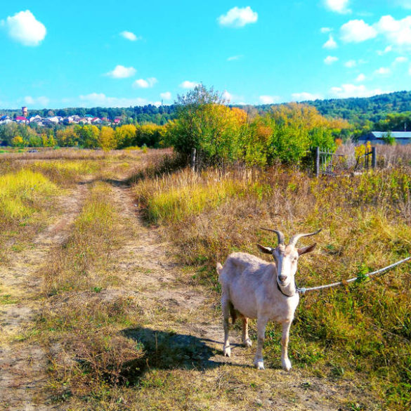 Russian countryside: goat on a road
