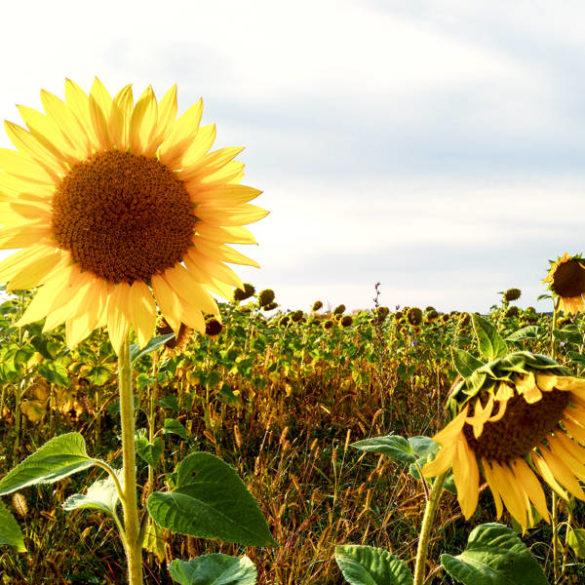 Russian countryside: sunflower field
