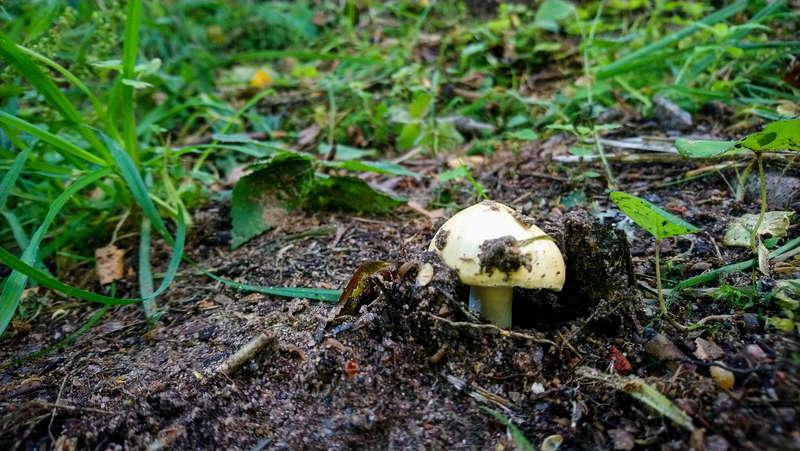 A samll mushroom in Komarovsky Strand